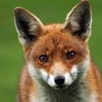 Рисунок профиля (fox)